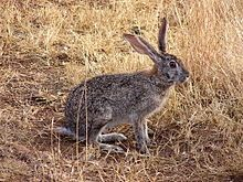Scrub hare in South Africa (Lagomorpha) - Hares, members of genus Lepus of family Leporidae, are medium size mammals native to all the continents except South America, Australia and Antarctica. North American jackrabbits are actually hares. Species vary in size from 40 to 70 cm (16 to 28 in) in length and have long powerful back legs, and ears up to 20 cm (8 in) in length. Although usually greyish-brown, some species turn white in winter.