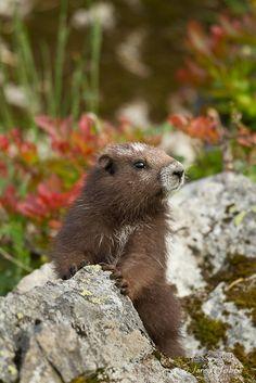 Vancouver Island Marmot (Marmota vancouverensis)