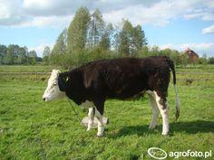 Krowa :) #jałówka #krowa #krowy #rolnictwo #rolnik