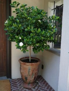 Potted Gardenia Tree - All For Herbs And Plants Potted Trees Patio, Patio Plants, Garden Trees, Outdoor Plants, Trees To Plant, Outdoor Gardens, Porch Trees, Trees In Pots, Gardenias