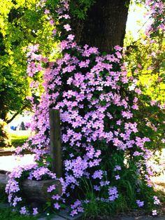 Clematis growing on oak tree Growing Sunflowers, Home Deco, Unique Gardens, Oak Tree, Purple Flowers, Outdoor Gardens, Fall Decor, Lawn, Pergola