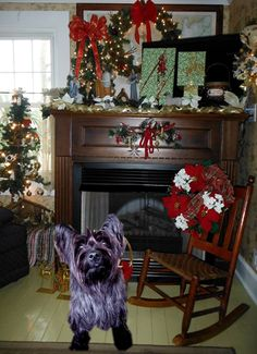 """cairn terrier, Bailey, in Davis Shore, NC... copy and paste for Christmas!  ... she was """"Perfect Pet of the day!"""""""