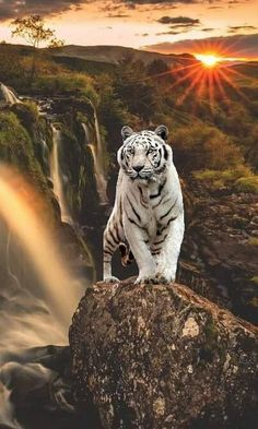 White tiger standing on rock