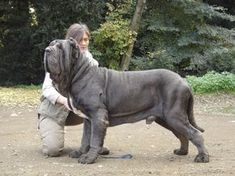 The four breeds most commonly called Mastiffs are the English Mastiff, the Neapolitan Mastiff, the Bull Mastiff and the Tibetan Mastiff. Mastiff Breeds, Mastiff Puppies For Sale, English Mastiff Puppies, Terrier Puppies, Giant Dog Breeds, Giant Dogs, Huge Dogs, Neopolitan Mastiff, Gatos