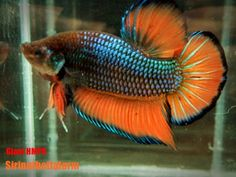 Fish for sale betta fish and betta on pinterest for Giant betta fish for sale