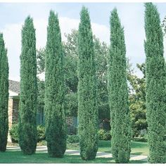 Yellow Italian Cypress Feature Tree In Pot (With Soil) Italian Cypress Trees, Landscape Design, Garden Design, Fast Growing Evergreens, Cupressus Sempervirens, Privacy Trees, Privacy Shrubs, Driveway Landscaping, Landscaping Ideas
