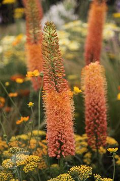 sumptuous colour -- foxtail lily bulbs Eremurus × isabellinus 'Cleopatra' / pinned on www.tobydesigns.com