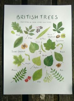 Items similar to British Trees Identified by their Leaves and Seeds - 8 x 10 Print - Nature Lovers Gift on Etsy Leave In, Tree Leaves, Plant Leaves, Tree Leaf Identification, Logo Fleur, Forest School Activities, Baumgarten, Gifts For Nature Lovers, Lovers Gift