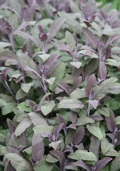 full sun purple sage Salvia officinalis 'Purpurascens' Position: full sun or partial shade Soil: light, fertile, moist, well-drained soil Rate of growth: average to fast Flowering period: May to July Flower colour: lilac-blue Other features: the leaves can be used fresh or dried to make stuffings, herb teas and herb butter Hardiness: fully hardy  next to rosemary and oregano