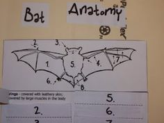 Bat Lapbook