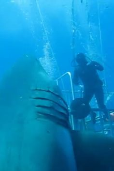 This Is Deep Blue, Probably The Biggest Shark You've Ever Seen