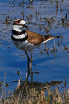 Mama killdeer