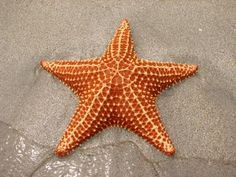 This picture of a starfish is a neat example of radial design.