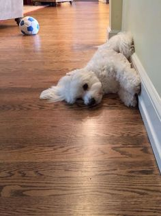 Maltese Just too pooped to m Cute Puppies, Cute Dogs, Dogs And Puppies, Doggies, Sweet Dogs, Maltese Dogs, Dog Rules, Dog Coats, Dog Accessories