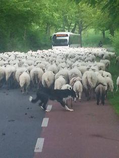 Zuid-Limburg. Sheep traffic jam. The Netherlands