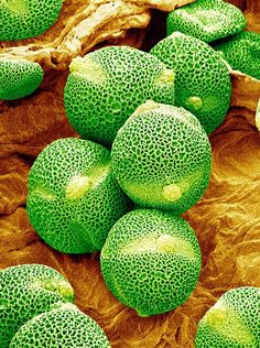 A false-color SEM of pollen grains from a cucumber plant