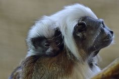 A new-born cotton-top tamarin sits on the shoulder of its mother on February 20, 2015.