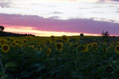 https://flic.kr/p/KAcYYp | Sunset sky with sun flowers |  Pope Farm Conservancy