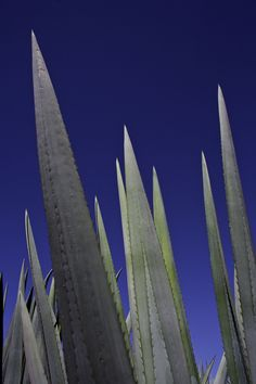 Blue agave leaves grow against a deep blue sky in Tequila, Jalisco, Mexico.