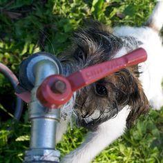 heididahlsveen:  Thirst #atsjoo #dog #hund #puppy #valp