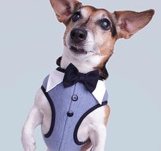 Is this a charming outfit for tomorrows important meeting? Modeling our #carolinacorrodi London Harness #premiumdogfashion #dogfashionwithapurpose          #hunde #traumhund #9gagcute #cutedog #hundeaufinstagram #dogtraining #swissdogs #ladbible #chien #weeklyfluff #thedodo #instachien #dogsofinstagram #swissdog #petfluencer #dogblogger #hundefotografie #doglife #hundar #dogsofinsta #zurich #geneva #hund #dogwithamission #dogstagram #doglover #dogs Dog Fashion, Zurich, Geneva, Dog Life, Dog Training, Cute Dogs, Dog Lovers, Modeling, Pitbulls