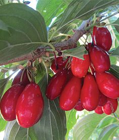 Cornelian Cherry, Red Star - Fruit Trees at Burpee.com-- shrub with preference for 1/2 day sun!
