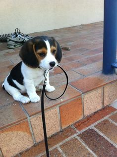 #beagle #dog #puppy There is just too much cuteness for one pic!!!!  Snoopy!