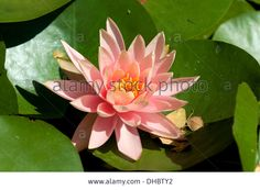 Macro pink lotus flowers with bees eating for nature backgrounds lotus orange pink google search mightylinksfo Choice Image