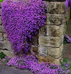 Purple Rock cress