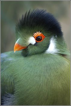 White Cheeked Turaco #BeautifulBird