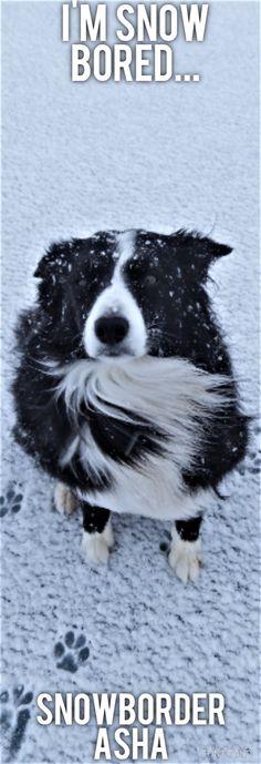 Asha The Snow Bored Border Collie
