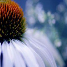 klaura / kvetinová nevesta