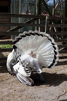 Raising Backyard Turkeys Considerations | Raising Turkeys Guide