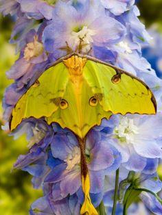 Washington Silk Moth, Sammamish, Washington, USA Photographic Print by Darrell Gulin