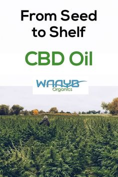 WAAYB Organics CBD Oil only uses hemp grown in Colorado from our family farm. Natural and healthy living! Restless Leg Syndrome, Cbd Hemp Oil, Cannabis Plant, Oil Uses, Organic Farming, Natural Living, Going To Work, Health And Wellness, Wellness Tips