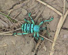 Green bug, Papua New Guinea