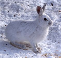 """Snowshoe hare - Wikipedia, the free encyclopedia """"The snowshoe hare (Lepus americanus), also called the varying hare, or snowshoe rabbit, is a species of hare found in North America. It has the name """"snowshoe"""" because.you know where this is going Snowshoe Hare, Rabbit Hunting, Scout Games, Forest Ecosystem, Scavenger Hunt For Kids, Scavenger Hunts, Wild Rabbit, Mammals, Squirrel"""