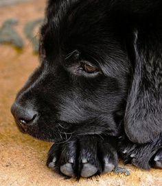 Kiba, The Labrador Retriever