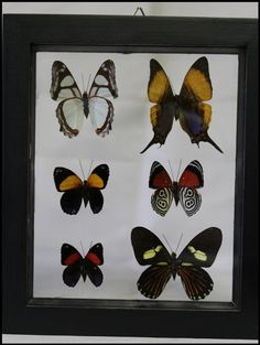 Six Specie Butterfly Frame Wall Art Trendy Office Home Décor Wedding Birthday Gifts by timelessdesigns07 on Etsy