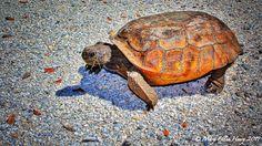 Gopher Tortoise Crossing