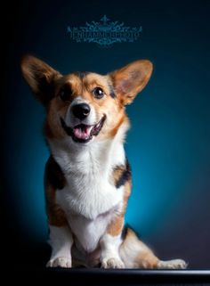 "/ Photo ""Hollee Bears"" by Jen Hammer Corgi Dog, Dog Cat, Zoo Animals, Cute Animals, Fluffy Corgi, Dog Best Friend, Smiling Dogs, Pembroke Welsh Corgi, Cute Creatures"