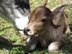 miniature zebu cattle | Training and Feeding Miniature Zebus