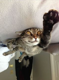 Le chat Superman