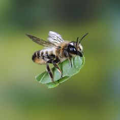 """24 MAY: Author and photographer Kim Taylor spotted this leafcutter bee in his garden in Guildford England.  The 82-year-old made a special shutter and flash unit to photograph insects in flight. """"The journey back to the nest took only seconds.  All you could see was a piece of green leaf flying past fast since the brown bee carrying the leaf was lost against the background said Taylor.  The insects are famous for cutting discs out of leaves which they use to build cells for their larvae…"""