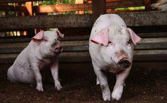 Does A Pig Fed With Green Tea Taste Better? - http://modernfarmer.com/2015/05/does-a-pig-fed-with-green-tea-taste-better/?utm_source=PN&utm_medium=Pinterest&utm_campaign=SNAP%2Bfrom%2BModern+Farmer