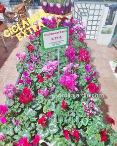 maravillosos ciclamen para colorear el invierno Garden Centre, Free Coloring, You Are Awesome, Winter
