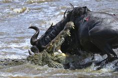 Crocodile and wildebeest battle
