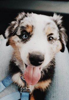 See more of relatablemoods's content on VSCO. Super Cute Puppies, Cute Baby Dogs, Cute Dogs And Puppies, I Love Dogs, Doggies, Cute Little Animals, Cute Funny Animals, Bleu Merle, Aussie Puppies