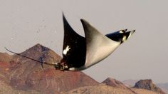 Mobula Rays belly flop to attract a mate - Shark: Episode 2 Preview - BB...