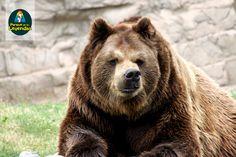 Oso pardo. Su pelaje se renueva una vez al año. La visión no la tienen poco desarrollada, sin embargo el oído y el olfato son agudos. Los machos suelen ser el doble en tamaño y peso que las hembras. Se alimenta de hierbas, frutos y salmón. ¿Sabías qué? Los osos no tienen predadores naturales, por lo que el hombre es su única amenaza.